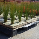 5. Darling St Pre-grown plant cells being delivered for installation into the Biofilta beds (Medium)