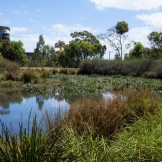 Aquatic plants in the treatment wetland clean pollution from the stormwater.